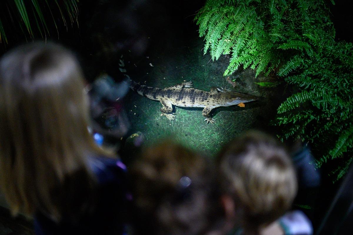 Hätten Sie es gewusst? Krokodile können nicht kauen. Sie verbeißen sich in ihrer Beute, rollen sich herum und reißen so ganze Stücke aus der Beute heraus.