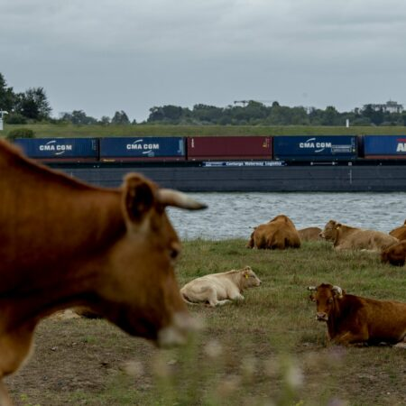 Kühe grasen am Ufer, ein Containerschiff schwimmt auf dem Rhein